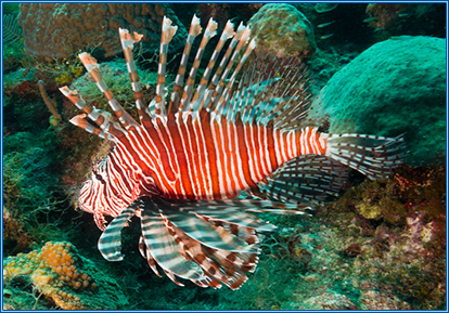 Volitans Lionfish at Aqua home aquatics centre Leyland