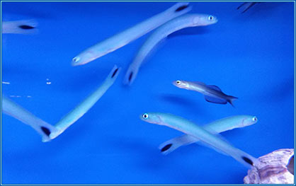 Marine – 'Blue Gudgeon'